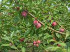 Prunier fruitier japonais et américano-japonais, Prunus salicina x
