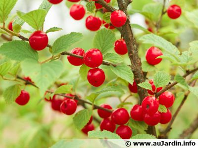 "Ragouminier, Cerisier de Nankin, Cerisier tomenteux, Cerisier nain du Canada, <span style=""font-style:italic;"">Prunus tomentosa</span>"