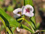 Sagittaire à feuilles en flèche, Flèche d'eau, Sagittaria sagittifolia