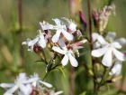 Saponaire officinale, Plante à savon, Saponaria officinalis
