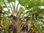 Strelitzia blanc, Oiseau du paradis blanc, Banane sauvage à fleurs blanches, Banane sauvage du Cap, Strelitzia augusta