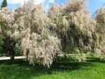 Tamaris d'été, Tamarix ramosissima