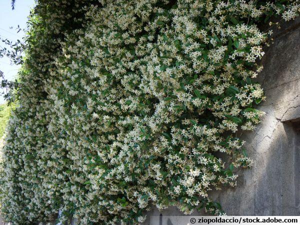 Le faux jasmin (Trachelospermum jasminoides)