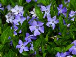 Grande pervenche, Vinca major