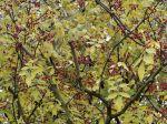 Poivrier du Sichuan, Poivrier chinois, Clavalier à feuilles de frêne, Zanthoxylum simulans