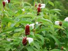 Gingembre commun, Gingembre officinal, Zingiber officinale