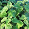 """Sortie plantes """"Plantes sauvages comestibles"""""""