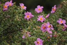 Visite thématique : Parfum de printemps dans la colline des cistes