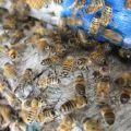 Atelier & Formation : L'univers fascinant des abeilles