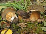 Cèpe à tête noire, Cèpe bronzé, Tête-de-nègre, Boletus aereus