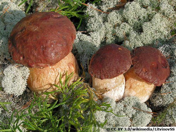 Cèpe des pins, Boletus pinophilus, un champignon du printemps