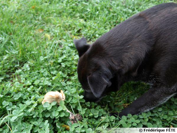 Un chien face à un champignon apparu dans la pelouse