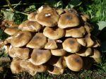 Des champignons apparaissent dans ma pelouse, qui sont-ils ?