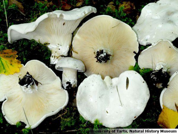 Meunier, Clitopile petite-prune, Mère de Cèpe, Clitopilus prunulus