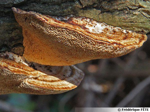 Tramète rougissante, Tramète rude, Daedaleopsis confragosa, 30 janvier 2018 et Ariège, le Daeadaleopsis sur saule