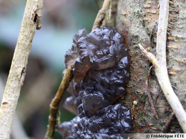 Exidie plane, Exidie noirâtre, Beurre de sorcière, Exidia nigricans, 16 février, sur saule, zone humide, Ariège