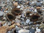 Pézize des sables, Géopore des sables, Geopora arenicola