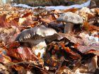 Hygrophore de mars, Charbonnier de printemps, Hygrophorus marzuolus