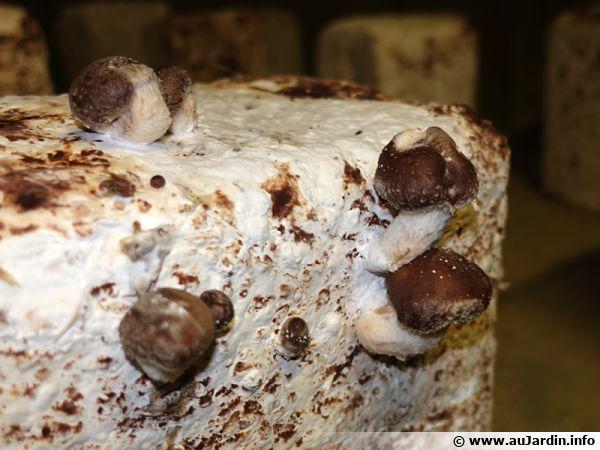 Shiitaké en culture sur bûches dans une cave champignonnière du Val de Loire