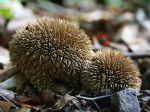 Vesse-de-loup hérisson, Vesse-de-loup épineuse, Lycoperdon echinatum