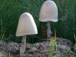 Le Panéole ovoïde, Panaeolus semiovatus affectionne les excréments