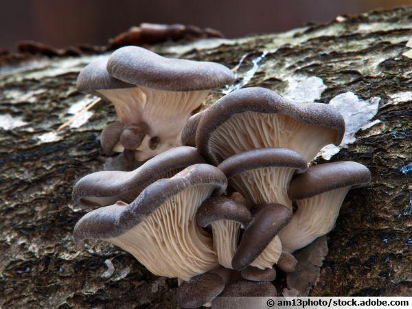 Pleurote en forme d'huître, Oreille de Noyer, Pleurote en coquille, Pleurote d'hiver, Pleurotus ostreatus