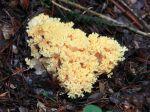 Clavaire jaune, Ramaria flava