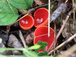 Pézize écarlate, Coupe de l'elfe, Sarcoscypha coccinea, 16 février, forêt, zone humide, Ariège
