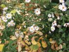 Esox, Floraisons d'automne