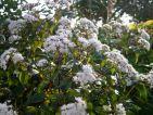 cosmos, Floraisons d'automne : une Eupatoire rugosum chocolate