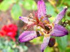 Garfield, Floraisons d'automne : Tricyrtis formosana de mon jardin