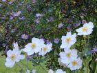 Kalinda, Floraisons d'automne