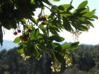 bourru07, Floraisons d'automne : Arbutus unedo, un arbuste spontané du maquis, qui offre en même temps ses fleurs et ses fruits de l'année précédente. Arbuste de 4-5 m, ses fleurs en grelot sont caractéristiques de la famille à laquelle il appartient : les Ericaceae