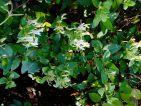 Miltonia, Floraisons d'automne : Chèvrefeuille prise hier au soleil dans mon jardin