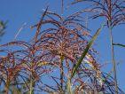 lafutaie, Floraisons d'automne : mes épis de miscanthus
