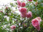 """Photo de Colibri87 pour le concours """"La vie en Rose"""""""