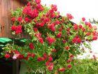 """Photo de Pousse-brouette pour le concours """"La vie en Rose"""""""