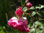 """Photo de BUGADE pour le concours """"La vie en Rose"""""""