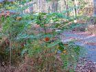 Angélique épineuse, Angélique en arbre d'Amérique, Aralia spinosa