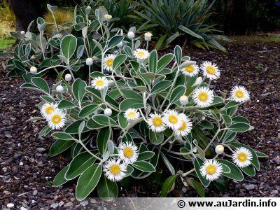 """Marguerite arbustive de Nouvelle-Zélande, <span style=""""font-style:italic;"""">Pachystegia insignis</span>"""