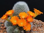 Cactus petite souris, Rebutia muscula