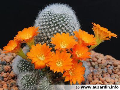 "Cactus petite souris, <span style=""font-style:italic;"">Rebutia muscula</span>"