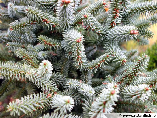 Sapin d espagne sapin d andalousie abies pinsapo for Sapin d ornement jardin