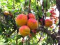 Mieux connaître les arbres fruitiers