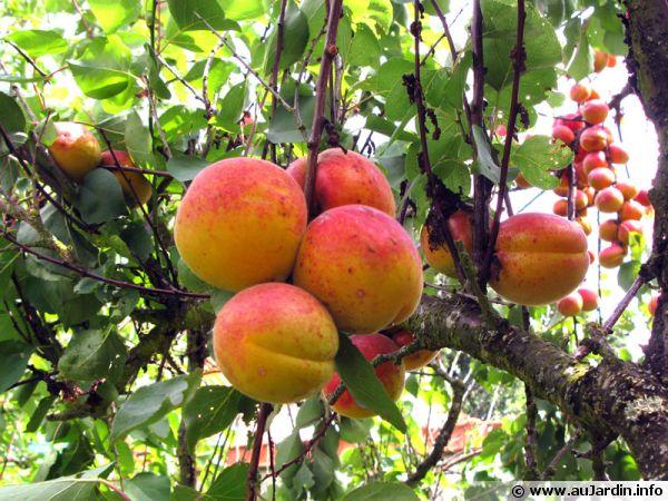 Le fruit de l'abricotier est une drupe