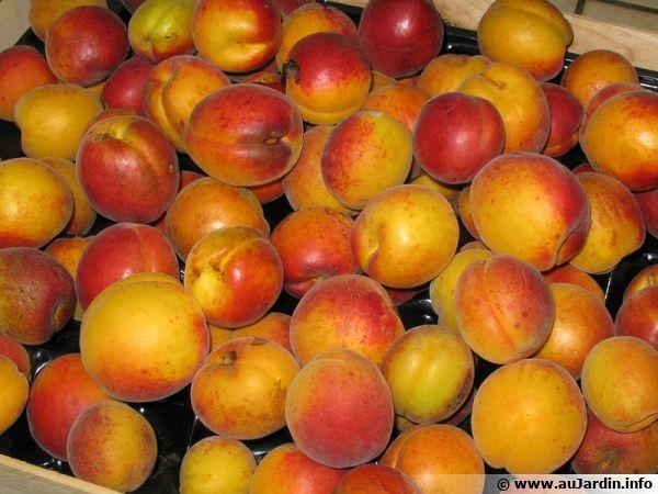 Belle récolte d'abricots à manger rapidement ou à transformer en confitures
