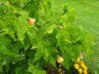 Abutilon, Abutilon x hybridum