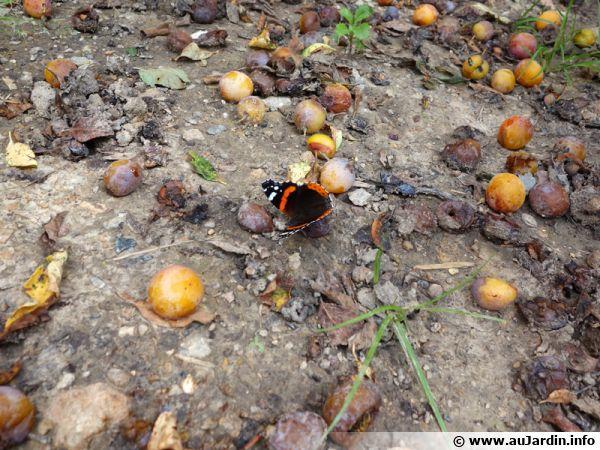 Les insectes apprécient les mirabelles tombées au sol, laissez-en quelques unes