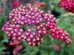 Achillée millefeuille, Herbe aux charpentiers, Achillea millefolium