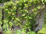 Les formes palissées de fruitiers